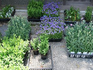 植栽予定の苗たち